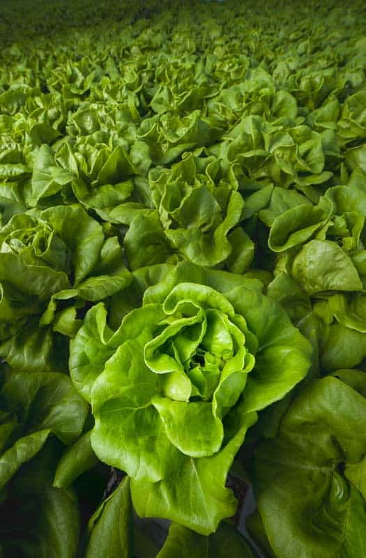 Photo shows a field of lettuce photographed for product placement or editorial use in Prince William Living magazine.